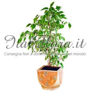 Ficus Benjamin