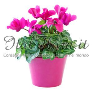 Pianta fiorita di ciclamino